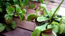 PLANTA CARNÍVORA para NIÑOS | DEVORA 2 moscas y una mariposa | venus atrapamosca Dionaea muscipula