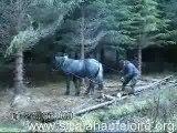 Debardage a cheval sur les berges du trifoulou