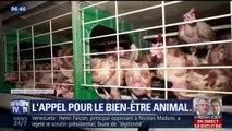 Poules pondeuses : l'appel de L214 et de Sophie Marceau pour le bien-être animal