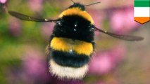 Bumble bee apocalypse: Third of bees wiped out in Ireland