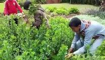Action collective de coupe des tiges de menthe poivrée