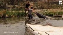 Ce gros alligator n'aime pas qu'on le filme ... Livestreamer presque dévoré