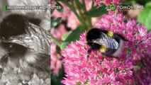 Bumblebee punah: sepertiga lebah punah di Irlandia- TomoNews