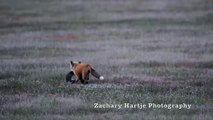 Un aigle vole le repas d'un renard qui ne veut pas lâcher prise