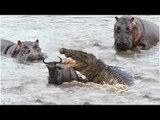 Amazing Animals Hippos Rescue & Save Wildebeest From Crocodile