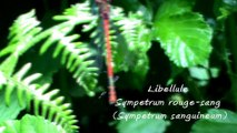 Libellule  rouge Sympetrum rouge-sang (Sympetrum sanguineum)