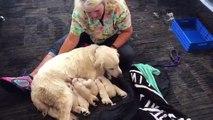 Floride: Une chienne labrador donne naissance à 8 chiots au beau milieu de l'aéroport de Tampa