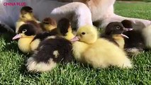 Staff from Mountfitchet Castle, a tourist attraction in Great Britain near Stansted Airport, noticed ducklings waddling around alone without their mother on Thu