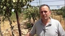 - Yahudi Yerleşimcilerin Üzüm Bağı Katliamı- Filistinlilerin 30 Bin Üzün Asmasını Kestiler