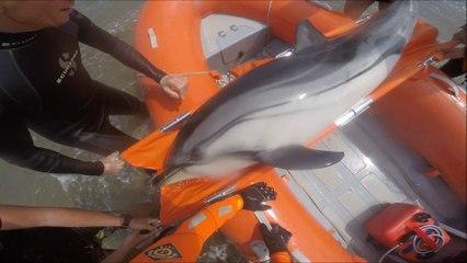 SNSM CAP D'AGDE: Le sauvetage d'un dauphin échoué à Vias-Plage