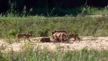 Ce lionceau s'en prend à un lézard mais regardez qui vient le sauver!