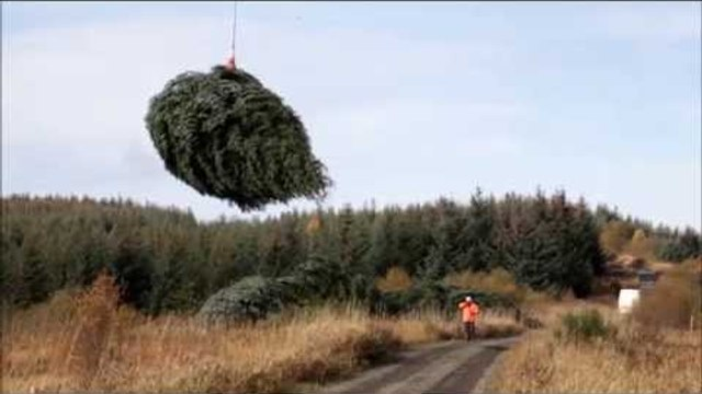 Christmas trees plucked from a forest by helicopter