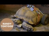 Tortoise fitted with wheels after developing arthritis