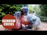 Two scraggly looking chicks will grow into beautiful rainbow birds