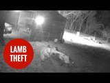 Family devastated after pet lamb Flop stolen by masked thieves