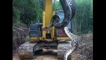 Sur un chantier, ces ouvriers découvrent un anaconda de 10 mètres