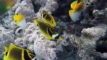 Colourful Tropical Reef Fish in abundance in Aroa Marine Reserve directly in front of The Rarotongan Beach Resort & Sanctuary Rarotonga