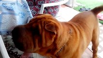 Funniest Pets  Cute Dogs Talking (Full) [Funny Pets]