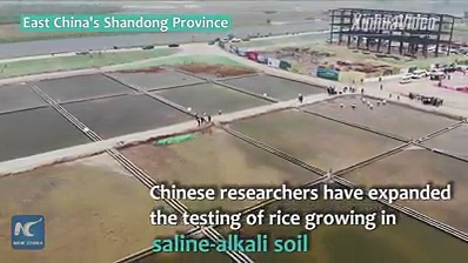 Rice to grow in seawater? Chinese researchers have expanded the testing of rice growing with saline-