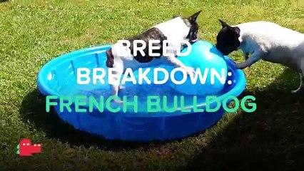 BREED BREAKDOWN: FRENCH BULLDOG