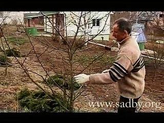 Прививаем молодое дерево. Прививка деревьев осенью. Прививка деревьев летом