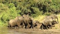 Un éléphanteau est déterminé à sortir de l'eau