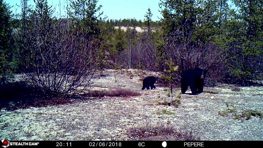 02-06-2018 - Une ourse avec son petit