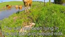 Une vache demande à un homme de sauver son veau