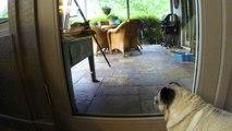 Ce carlin aimerait jouer dehors avec les chatons!