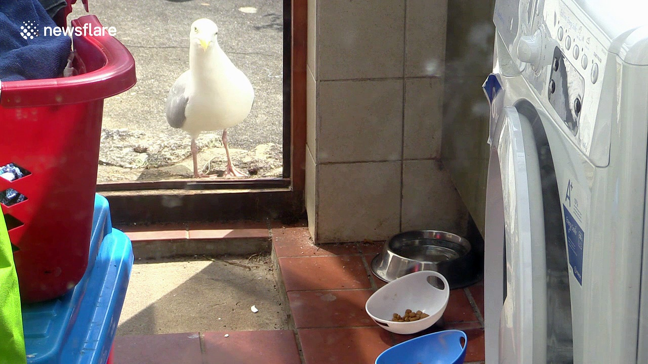 Stealthy seagull checks coast is clear before stealing cat food