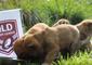 Dingo Puppies Tip Maroons for State of Origin Win