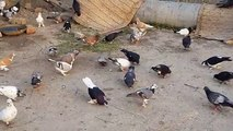 Fighter Racer Khokha (Kabootar) Pigeons In Pakistan - video