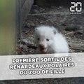 Première sortie des renardeaux polaires du zoo de Lille