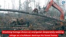 Un orang-outan lutte contre un bulldozer qui détruit sa forêt (Île de Bornéo)