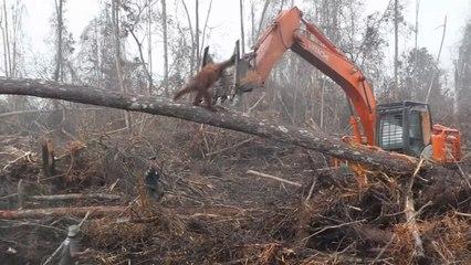 Herzzerreißend: Orang-Utan stellt sich Bagger im Regenwald entgegen