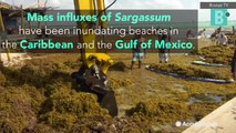 Sargassum seaweed outbreaks inundate beaches in the Gulf and Caribbean