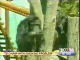 Singe Fumeur / Smoking Monkey