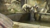 Un Bébé tigre blanc vient aider son frère coincé dans le bassin... Solidaire les petits tigrons