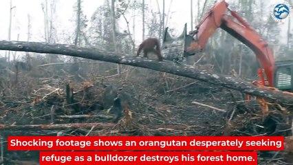 Un orang-outan attaque un bulldozer en train de détruire sa forêt