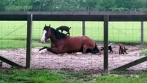 Des bébés chèvres jouent sur un cheval... Tellement mignon