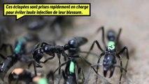 On connaissait les fourmis soldats, mais connaissez-vous les fourmis médecins ?
