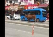 Toujours se méfier d'une vache en liberté dans la rue !