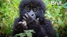 Parc de Virunga : le nombre de gorilles des montagnes en augmentation