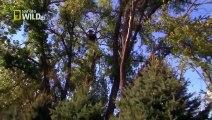 American Bald Eagle - Flying, Hunting [Full Nature Wildlife Documentary]