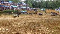 Arena Tedong Silaga Buntu Lobo di Sa'dan Toraja Utara