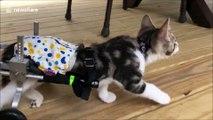 Ce chaton paralysé des pattes arrières se déplace désormais grâce à des roulettes