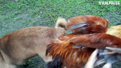 Chicken And Dog Caught Mating