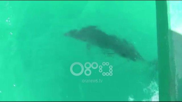 """Ora News - Një delfin me """"pushime"""" në Vlorë, i dyti brenda këtij muaji"""
