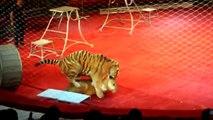 Les spectateurs de ce cirque ne s'attendaient pas à voir un tel spectacle... Tigre amoureux d'une lionne