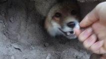 Elle trouve un renard sauvage chez elle, pas si sauvage que ça